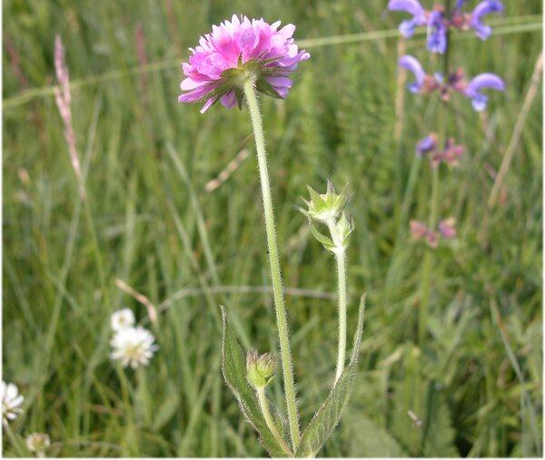 Knautia drymeja Heuff. subsp. drymeja