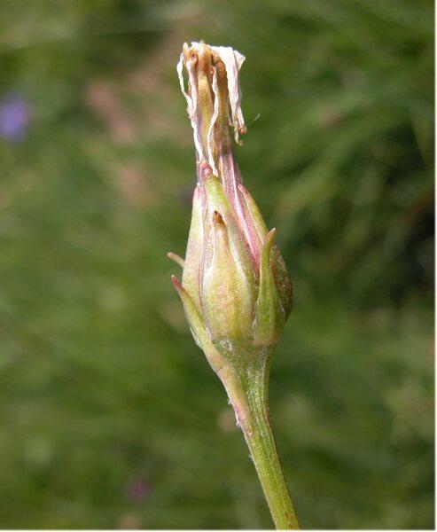 Podospermum roseum (Waldst. & Kit.) Gemeinholzer & Greuter