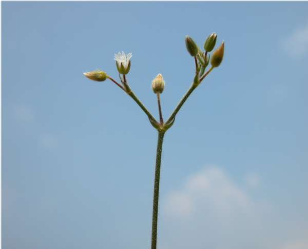 Cerastium holosteoides Fr.