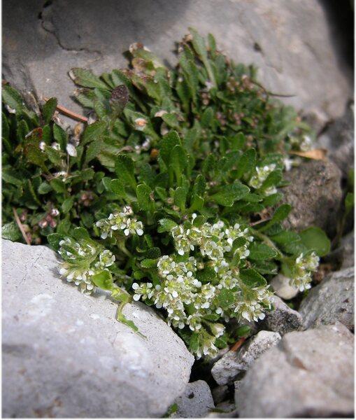 Rhizobotrya alpina Tausch