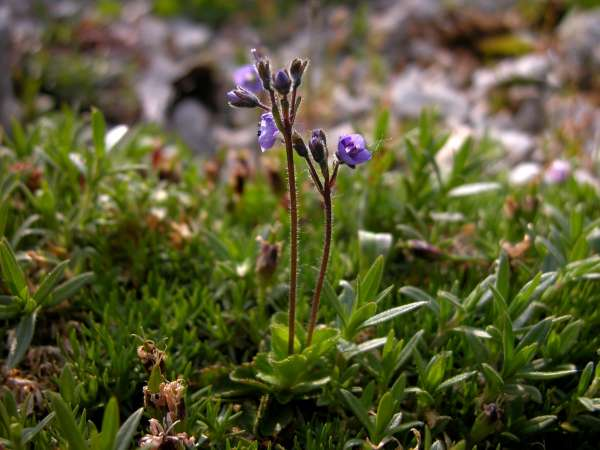 Veronica aphylla L. subsp. aphylla