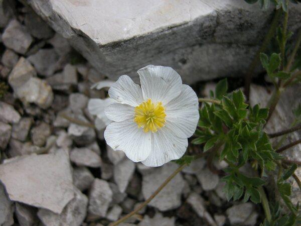Ranunculus seguieri Vill. subsp. seguieri