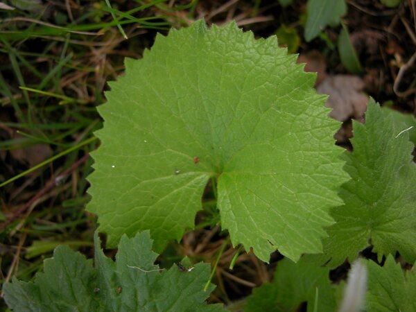Primula matthioli (L.) V.A.Richt.