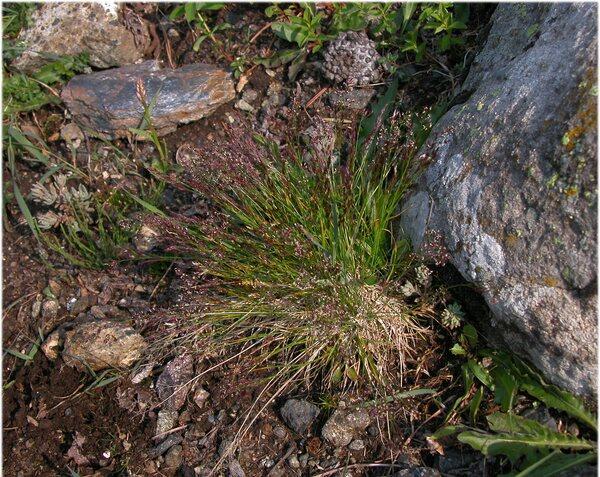 Agrostis rupestris All. subsp. rupestris