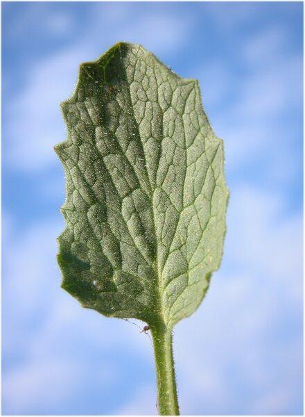 Doronicum columnae Ten.