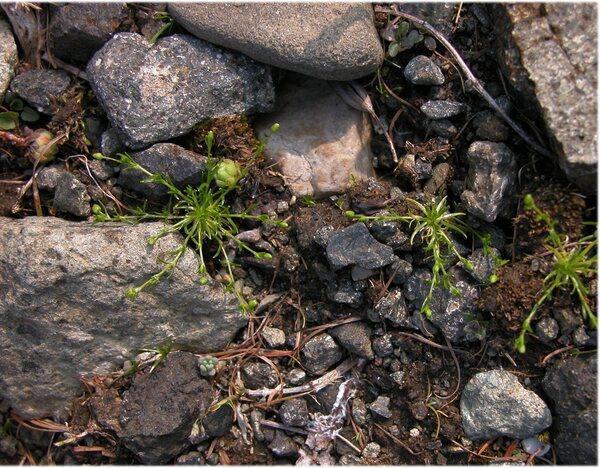 Sagina saginoides (L.) H.Karst. subsp. saginoides