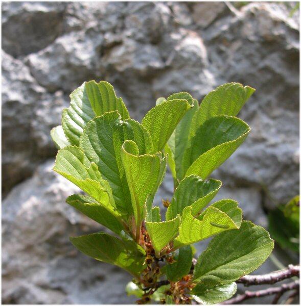 Rhamnus sp.