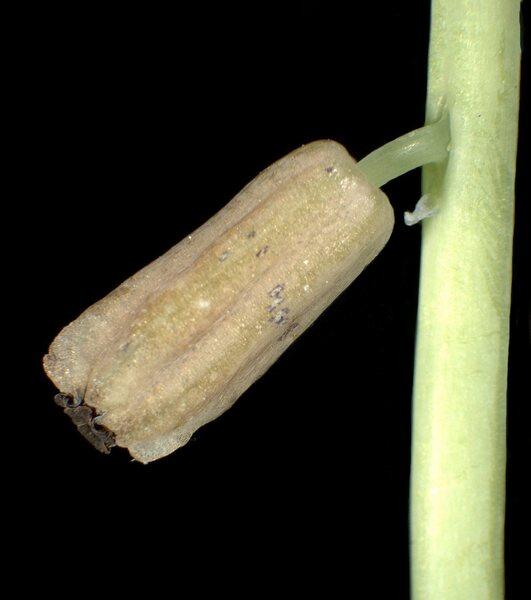 Muscari tenuiflorum Tausch