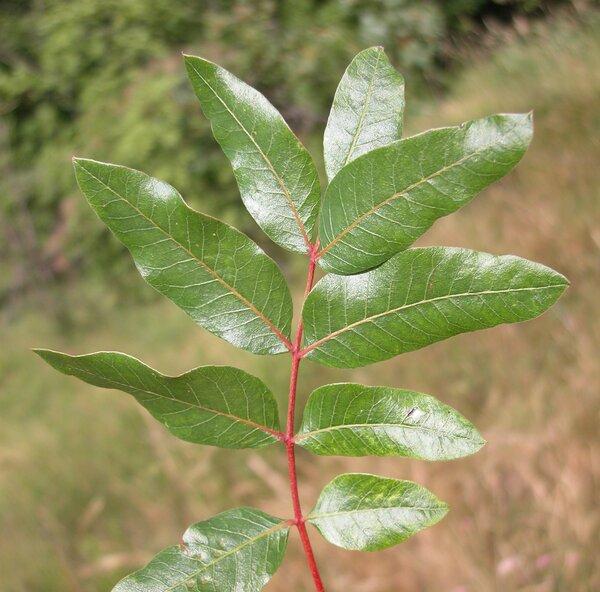 Pistacia terebinthus L. subsp. terebinthus