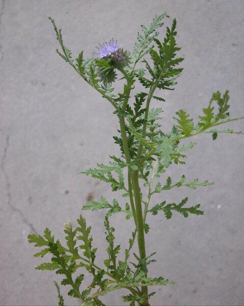 Phacelia tanacetifolia Benth.