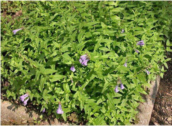Scutellaria hastifolia L.