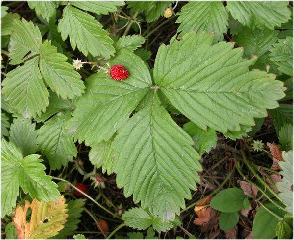 Fragaria vesca L. subsp. vesca