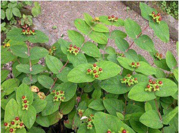 Hypericum androsaemum L.