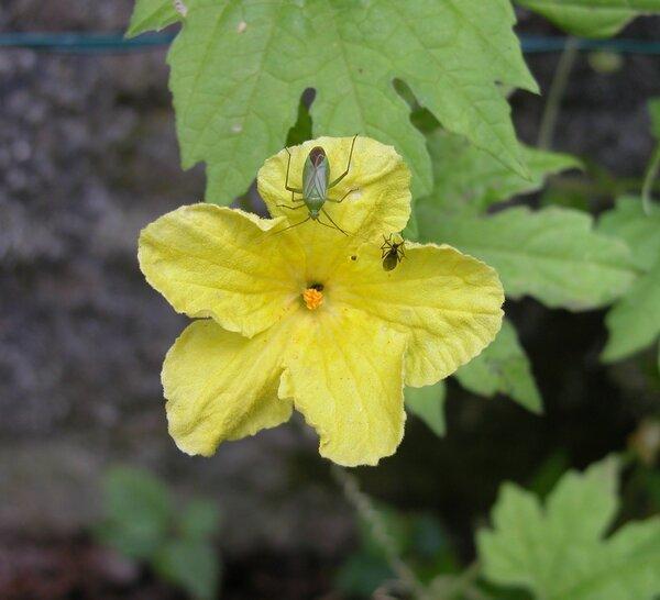 Momordica balsamina L.