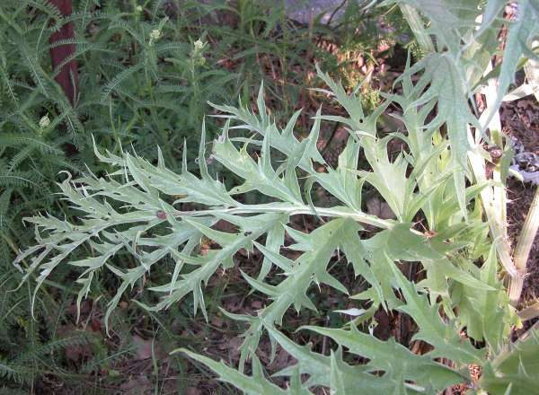 Cynara cardunculus L. subsp. cardunculus