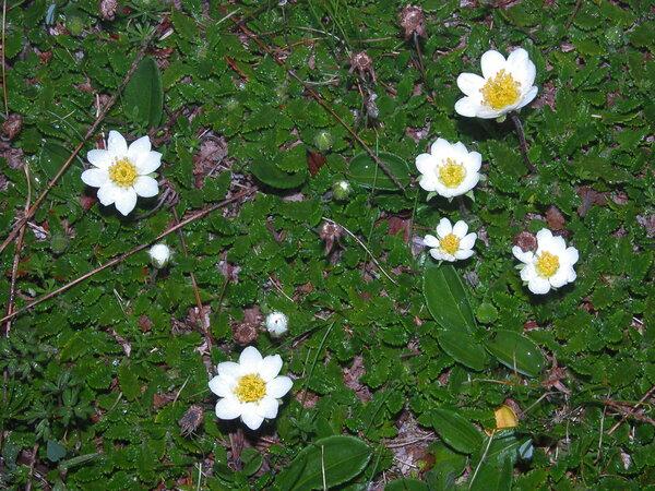 Dryas octopetala L. subsp. octopetala
