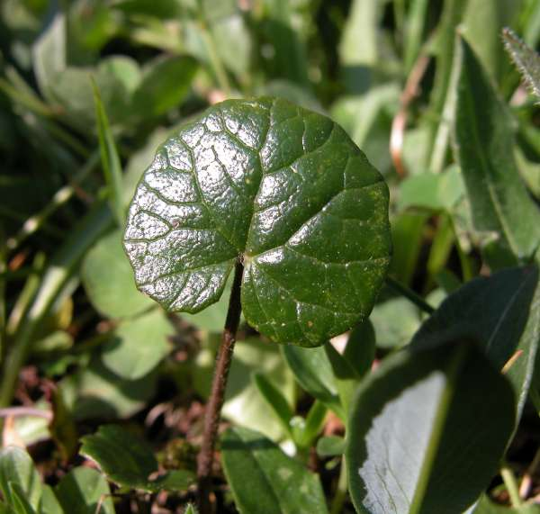 Homogyne alpina (L.) Cass.