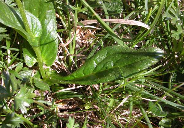Doronicum glaciale (Wulfen) Nyman subsp. glaciale