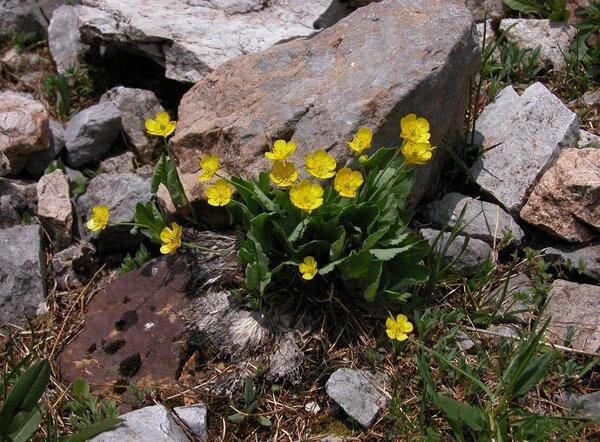 Ranunculus hybridus Biria