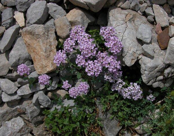 Thlaspi cepaeifolium (Wulfen) W.D.J.Koch s.l.
