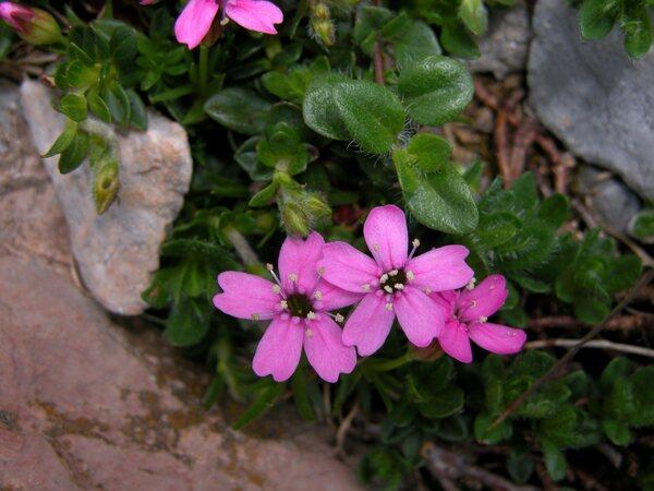 Silene acaulis (L.) Jacq. subsp. acaulis