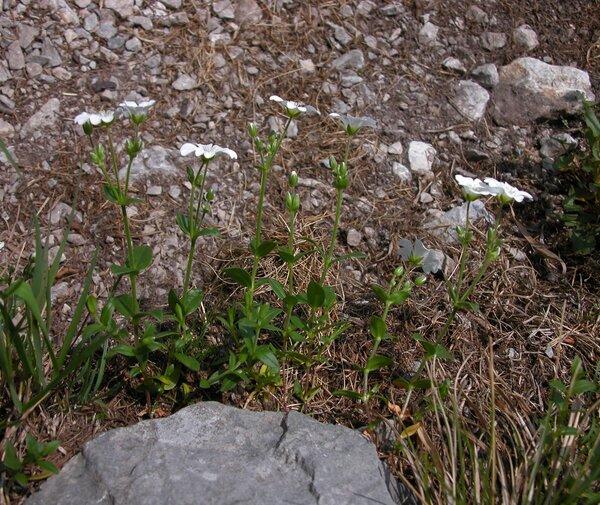 Cerastium carinthiacum Vest subsp. austroalpinum (Kunz) Janch.