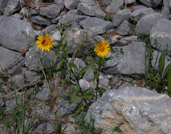 Buphthalmum salicifolium L. subsp. grandiflorum (L.) Ces.