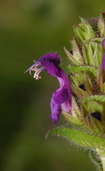 Prunella grandiflora (L.) Scholler