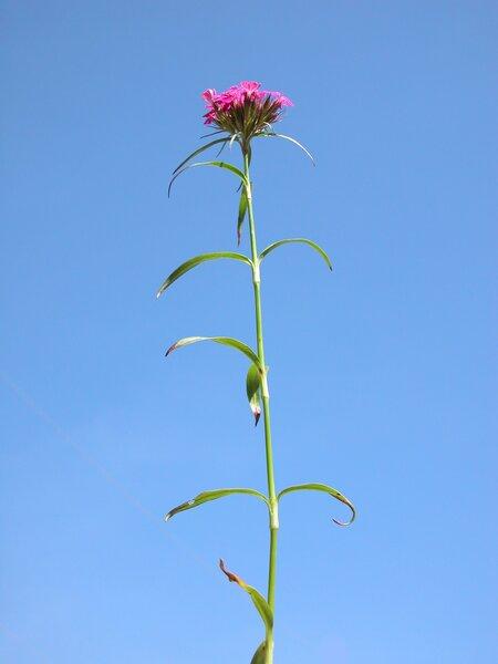 Dianthus barbatus L. subsp. barbatus