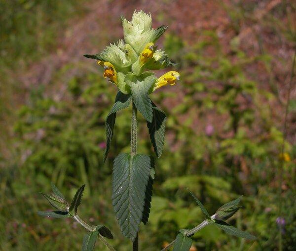 Rhinanthus glacialis Personnat subsp. glacialis