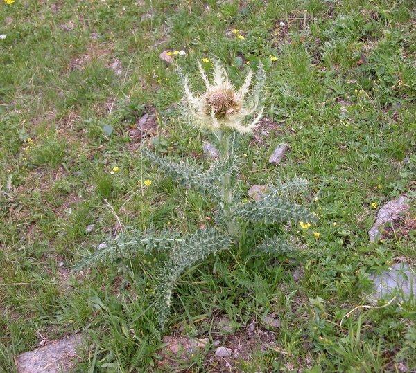Cirsium spinosissimum (L.) Scop.