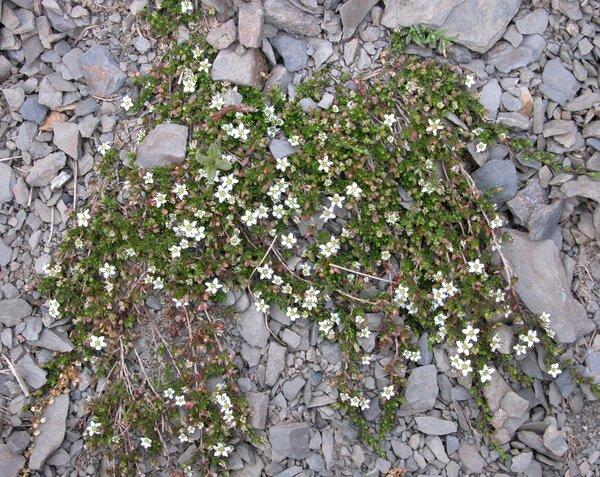 Arenaria biflora L.