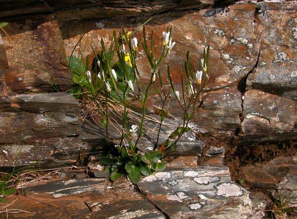 Arabis bellidifolia Crantz subsp. bellidifolia