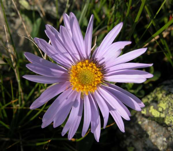 Aster alpinus L. subsp. alpinus