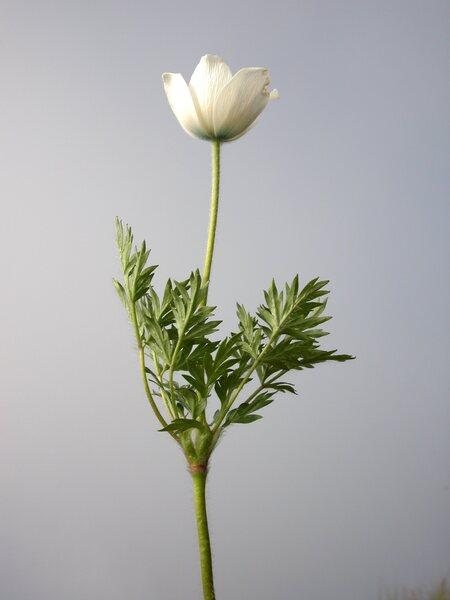 Pulsatilla alpina (L.) Delarbre subsp. austriaca Aichele & Schwegler