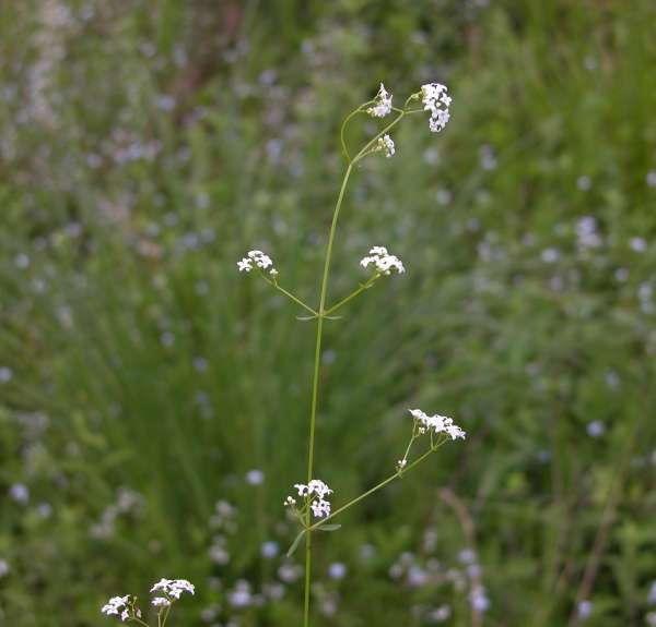Galium palustre L. subsp. palustre