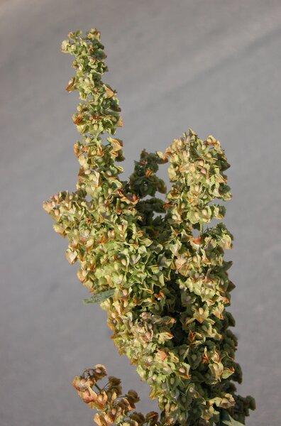 Rumex crispus L.