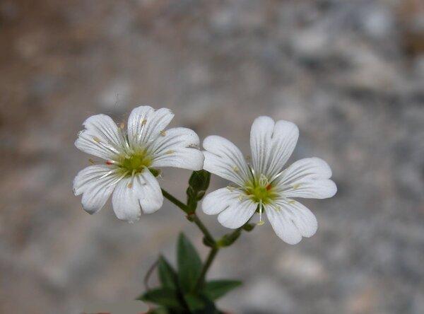 Cerastium carinthiacum Vest