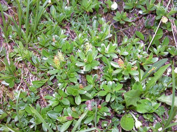 Salix serpillifolia Scop.