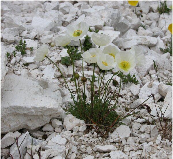Papaver alpinum L. subsp. ernesti-mayeri Markgr.