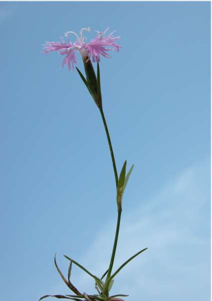 Dianthus monspessulanus L. subsp. waldsteinii (Sternb.) Nyman