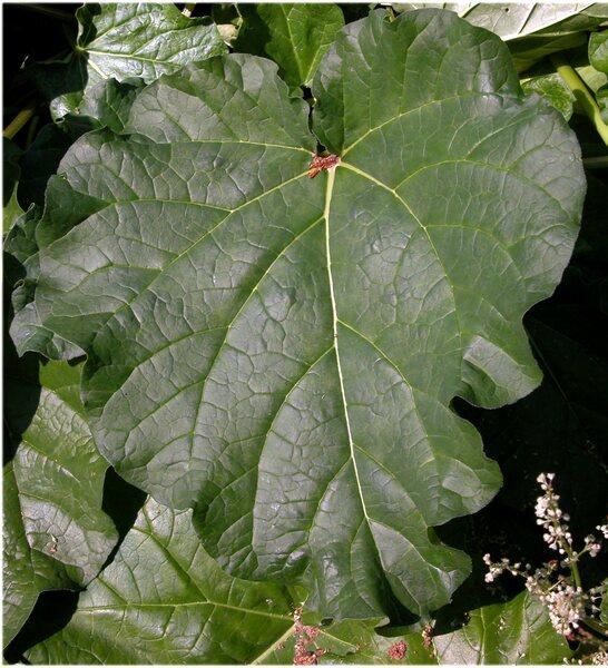 Rheum undulatum L.