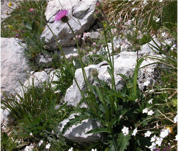 Carduus defloratus L. subsp. sumanus (Pollini) Arcang.