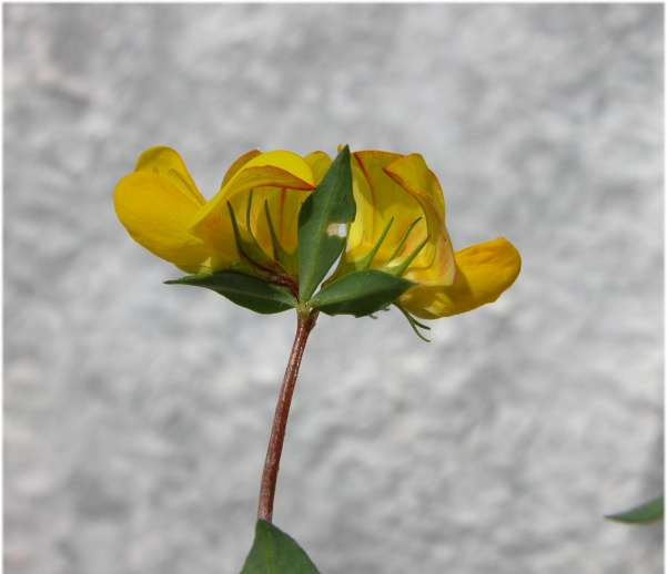 Lotus corniculatus L. subsp. corniculatus