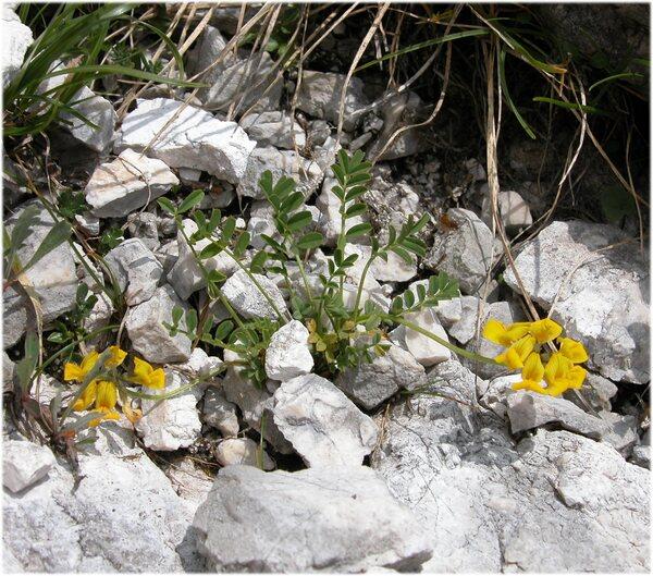 Hippocrepis comosa L. subsp. comosa