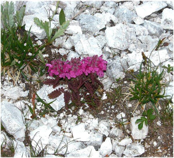 Pedicularis rosea Wulfen subsp. rosea