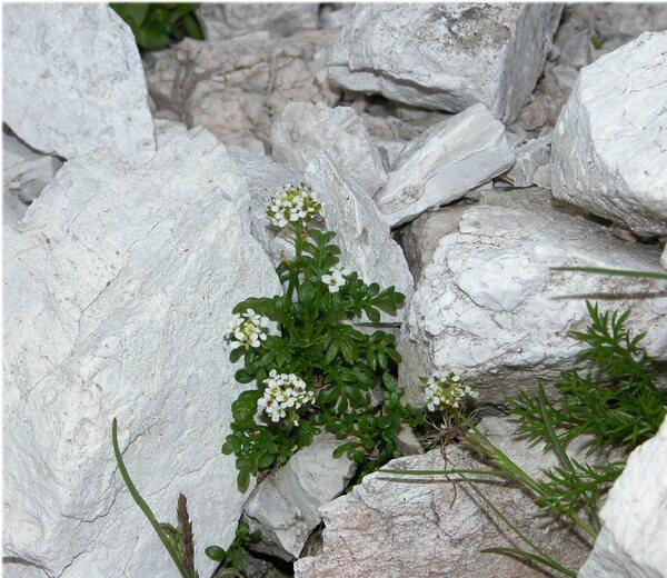 Hornungia alpina (L.) O.Appel subsp. austroalpina (Trpin) O.Appel