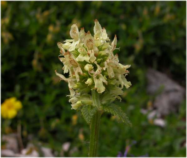 Betonica alopecuros L. subsp. divulsa (Ten.) Bartolucci & Peruzzi