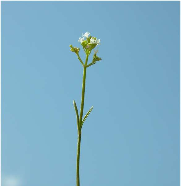 Valeriana saxatilis L.