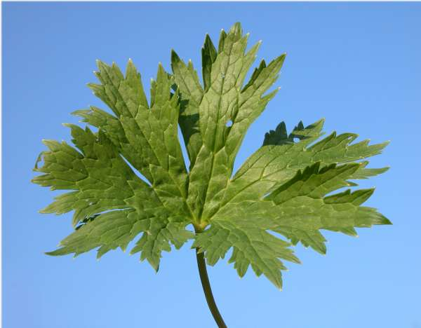 Aconitum lycoctonum L. emend. Koelle